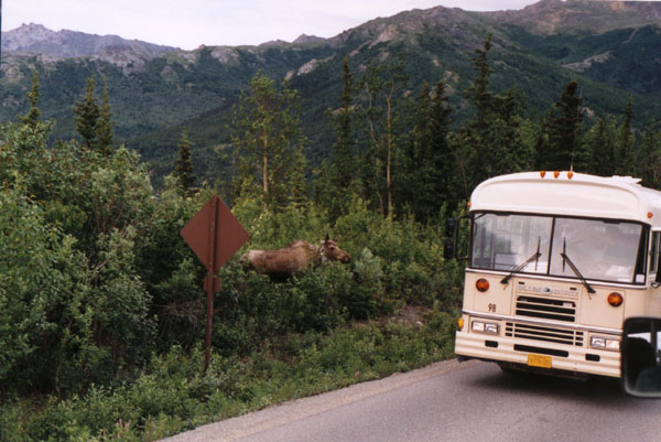 [A Moose Stopping Traffic]